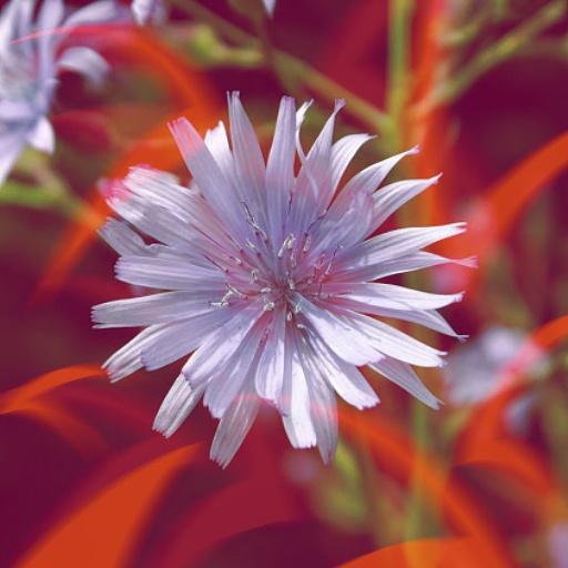 Belle fleur violette étoilée en l'honneur d'Airmid